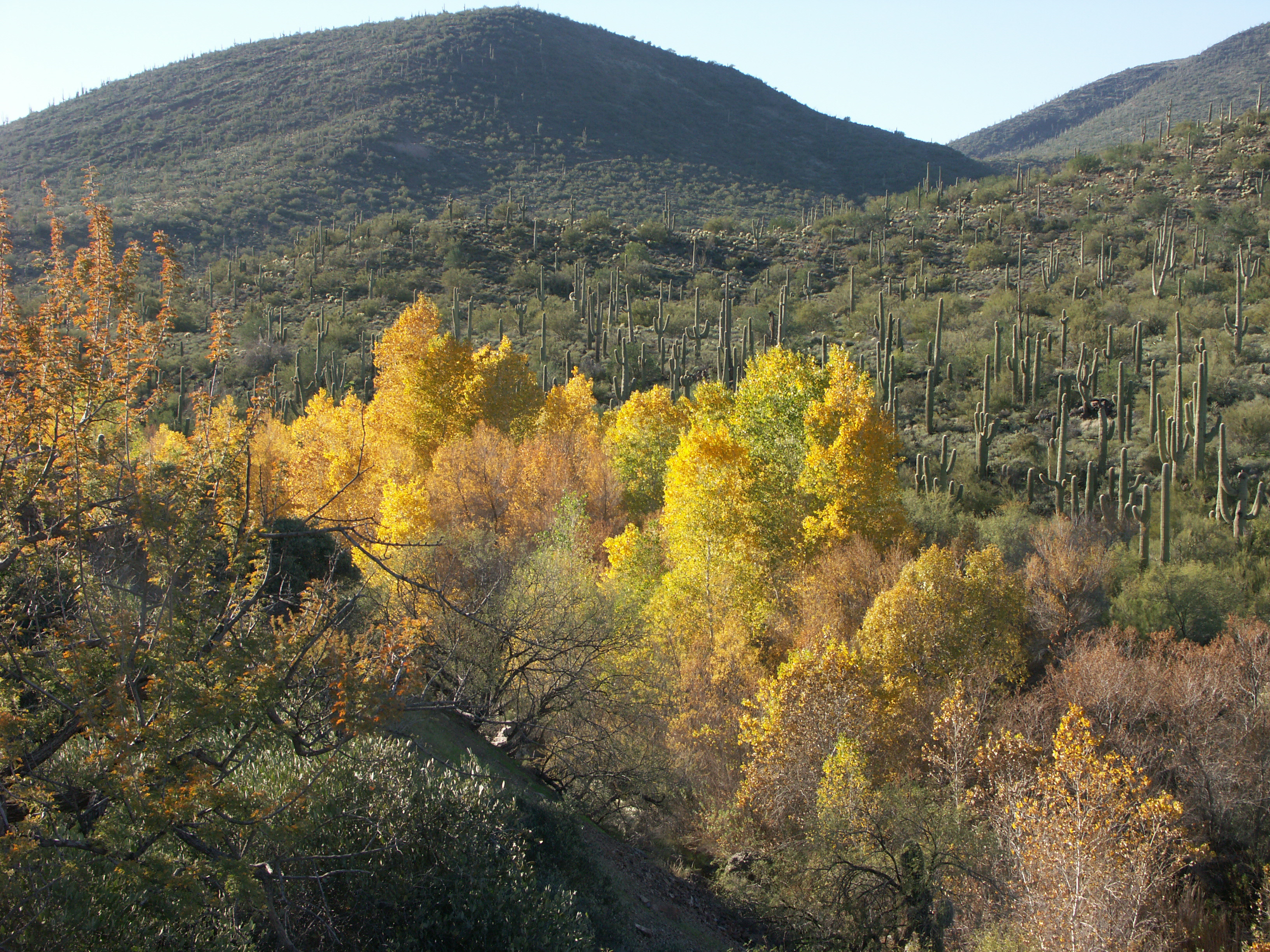 Autum color on Cottonwood trees with saguaros and desert mountains in the background at the Jewel of the Creek.