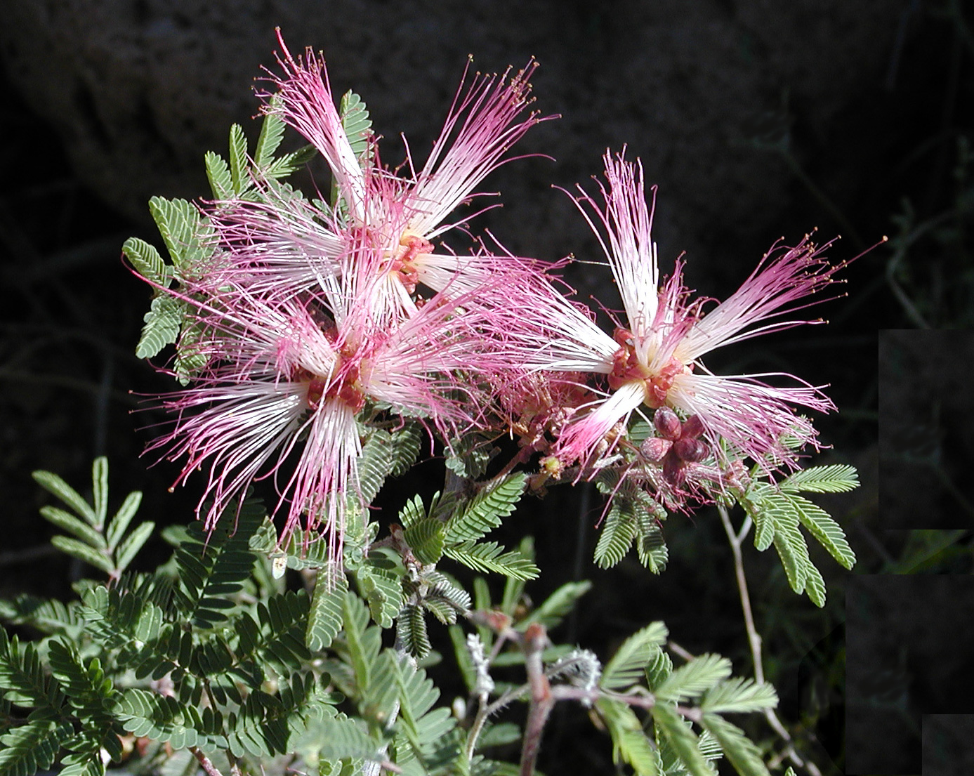 A Fairy Duster bush.